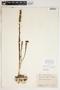Spiranthes cernua (L.) Rich., U.S.A., J. A. Steyermark 64149, F