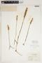 Spiranthes cernua (L.) Rich., U.S.A., D. Demaree 16562, F