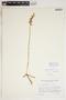 Spiranthes cernua (L.) Rich., U.S.A., D. N. Gibson 325, F