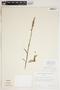 Spiranthes cernua (L.) Rich., U.S.A., J. Watson 185, F