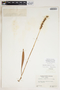 Spiranthes cernua (L.) Rich., U.S.A., D. S. Correll 6920, F