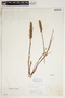 Spiranthes cernua (L.) Rich., U.S.A., J. Reverchon, F