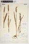 Spiranthes cernua (L.) Rich., U.S.A., F