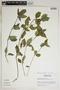 Ruellia blechum L., Peru, M. Rimachi Y. 517, F