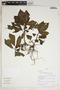 Triolena amazonica (Pilg.) Wurdack, Peru, R. B. Foster 10045, F