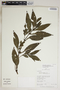 Hygrophila costata Nees & T. Nees, Peru, R. B. Foster 12076, F