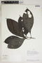 Justicia secundiflora (Ruíz & Pav.) M. Vahl, Peru, R. B. Foster 8595, F