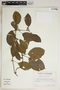 Mendoncia glomerata Leonard, Ecuador, G. W. Harling 11964, F