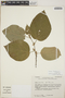 Croton fantzianus F. Seym., Mexico, E. J. Lott 2108, F