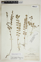 Phyllanthus caroliniensis subsp. guianensis (Klotzsch) G. L. Webster, Martinique, A. Duss 48, F