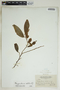 Margaritaria nobilis L. f., British Virgin Islands, N. L. Britton 792, F