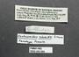 43094 Centruroides schmidti female, paratype, label