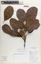 Sloanea L., Colombia, R. Fonnegra G. 6331, F
