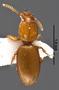 Antireicheia hlavaci PT dorsal habitus czm22