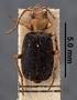 Brachinus opacicollis HT dorsal habitus czm4