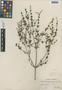 Dicliptera assurgens (L.) Juss., Mexico, C. A. Purpus 12076, F