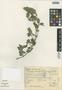 Dicliptera unguiculata Nees, Mexico, W. Márquez R. 1001, F