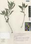 Ruellia malacosperma Greenm., Mexico, G. Castillo Campos 4280, F