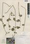 Achyranthes indica image