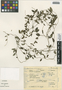 Metastelma latifolium image