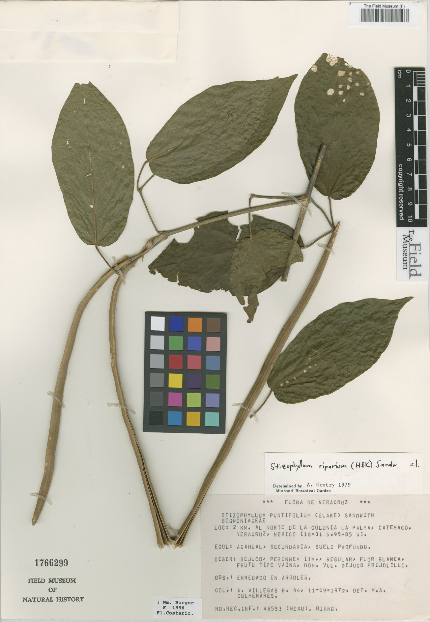 Stizophyllum image