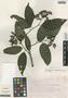 Tournefortia maculata Jacq., Mexico, J. H. Beaman 5859, F