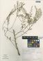 Lepidium virginicum L., Mexico, M. Sousa S. 2036, F