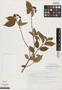 Viburnum acutifolium image