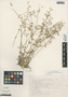 Cerastium brachypodum (Engelm. ex A. Gray) B. L. Rob., Mexico, R. Hernández M. 1316, F