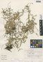 Cerastium nutans Raf., Mexico, M. Nee 22888, F