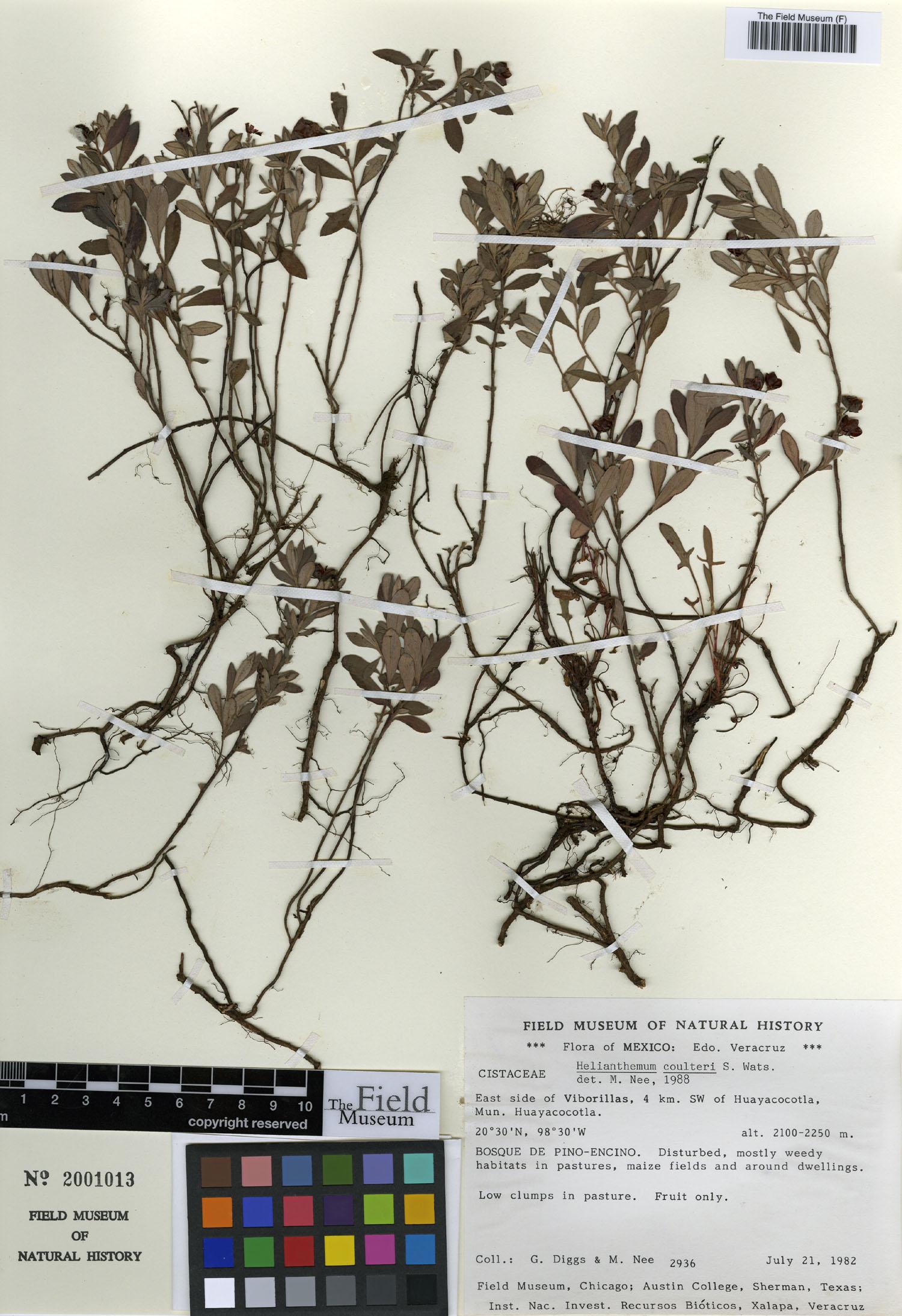Cistaceae image