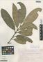 Garcinia macrophylla Mart., Mexico, J. H. Beaman 6087, F