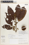 Sloanea gladysiae Vásquez, Peru, Rod. Vasquez 9827, Isotype, F