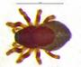 Floricomus setosus female habitus