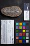 PP 35582 [HS, M] Annularia radiata, Moscovian, Francis Creek Shale Member, United States of America, Illinois, Mazon Creek Region