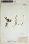 Phyllanthus pentaphyllus C. Wright ex Griseb., British Virgin Islands, N. L. Britton 1000, F