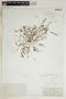 Euphorbia abramsiana image