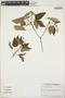 Croton ciliatoglandulifer image