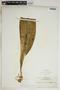 Anthurium acaule (Jacq.) Schott, Martinique, A. Duss 4528, F