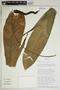 Anthurium acaule (Jacq.) Schott, Martinique, T. B. Croat 81390, F