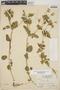 Croton hirtus L'Hér., El Salvador, L. O. Williams 16750, F