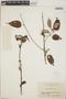 Croton niveus Jacq., Mexico, J. T. Howell 8481, F