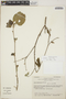 Croton niveus Jacq., Mexico, E. J. Lott 1665, F
