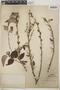 Croton niveus Jacq., Mexico, E. Palmer 561, F