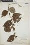 Croton niveus Jacq., Mexico, J. M. Greenman 228, F