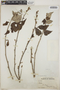Croton niveus Jacq., Mexico, J. M. Greenman 254, F