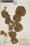 Croton niveus Jacq., Mexico, W. C. Leavenworth 1409, F