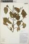 Croton niveus Jacq., Mexico, E. B. L. León 51, F