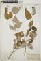 Croton niveus Jacq., Mexico, C. A. Purpus 7299, F