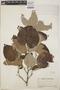 Croton niveus Jacq., Guatemala, P. C. Standley 74445, F